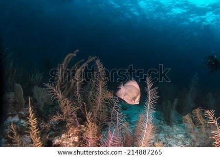 Gray angel fish swimming among the sea plumes - stock photo