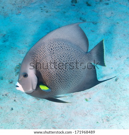Gray Angelfish - stock photo