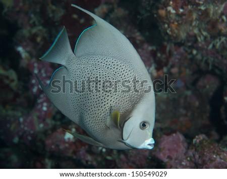 Gray angelfish on a reef - stock photo
