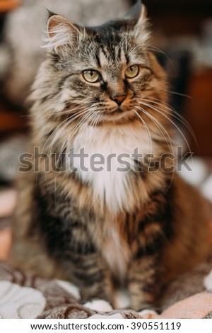 Gray beautiful cat with long whiskers long hair - stock photo