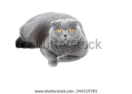 Gray-blue Scottish Fold cat on white background - stock photo