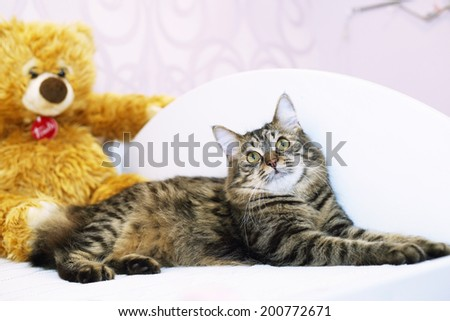 gray bobtail cat with toy bear on the background - stock photo