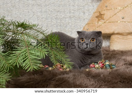 gray British cat and fir-tree