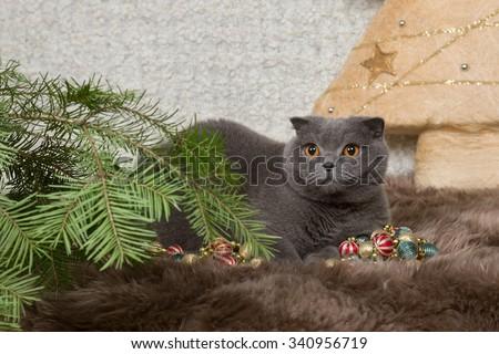 gray British cat and fir-tree   - stock photo
