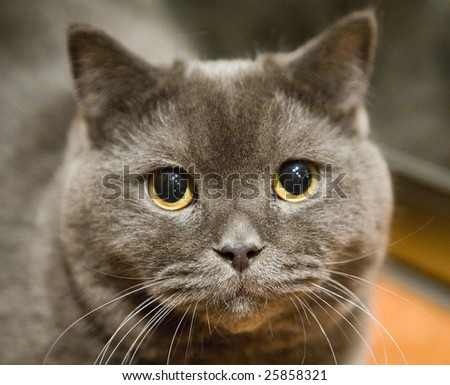 Gray british cat close up