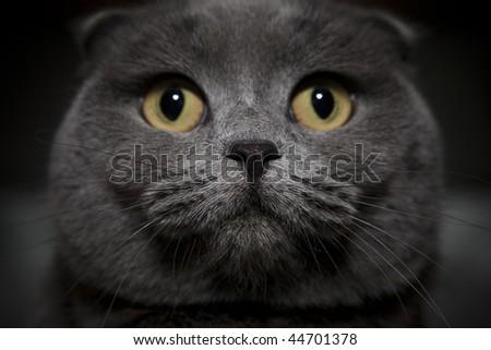 Gray british cat close up - stock photo