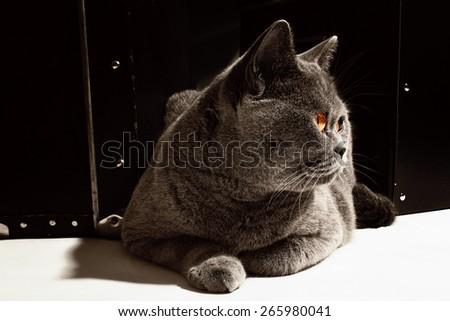 Gray British cat  lying near suitcase closeup - stock photo