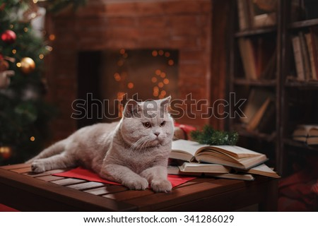 Gray british cat on a studio background, Christmas and New Year - stock photo