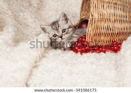 gray British kitten in a basket and a red New Year's beads  - stock photo