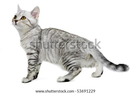 gray british kitten isolated on white background - stock photo