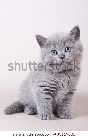 Gray British kitten looking into the camera