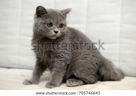 gray british kitten on a light background