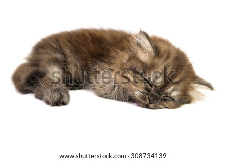 Gray brown kitten sleep on a white background