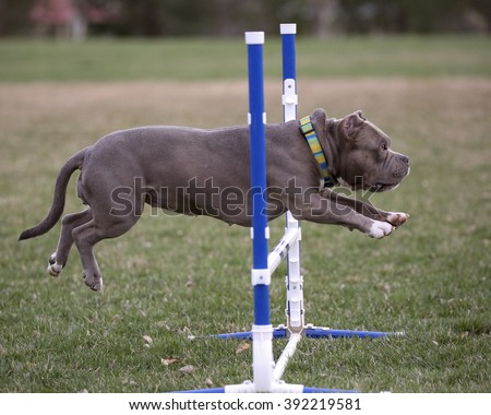 Gray bull breed showing that a muscle dog can do agility going over a jump