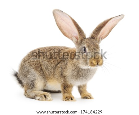 Gray bunny rabbit isolated against a white background. - stock photo
