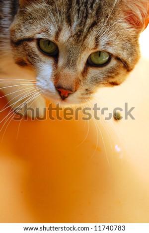 Gray cat eating on orange background. Domestic animal portrait. - stock photo