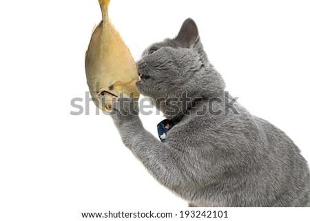 gray cat eats fish on a white background close-up. horizontal photo. - stock photo