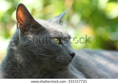 Gray cat. Elegant Russian Blue cat lies peacefully and looks into the distance on a sunny summer day. - stock photo