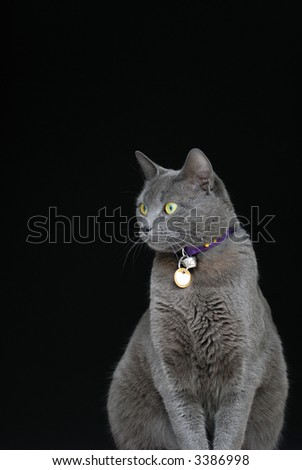 Gray cat, green eyes on black background