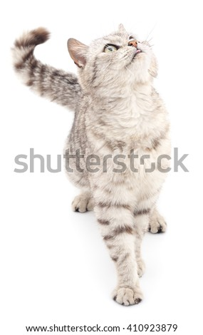 Gray cat isolated on a white background. - stock photo