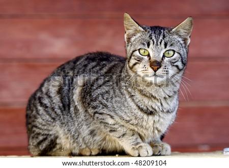 Gray cat looking at the camera - stock photo