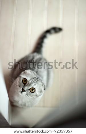 Gray cat looking through a doorway - stock photo