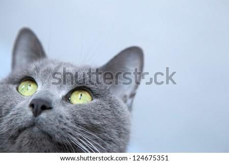 Gray Cat Looking Up, Closeup on Blue Background