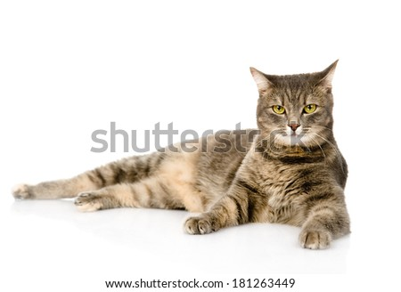 Gray cat lying and looking at camera. isolated on white background - stock photo