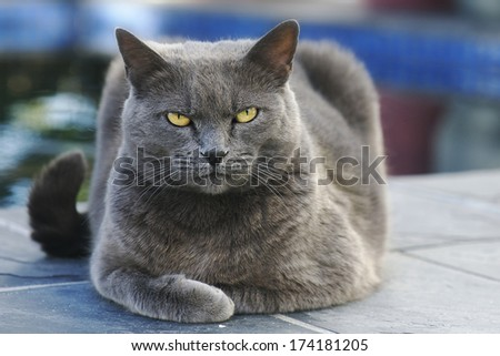 Gray cat lying and looking into the camera - stock photo