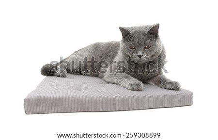 gray cat lying on a pillow isolated on white background. horizontal photo. - stock photo