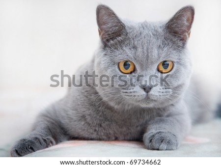 Gray cat of the British breed - stock photo