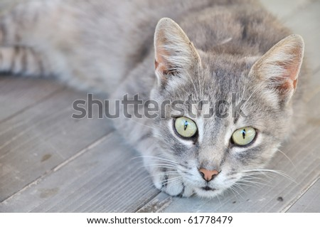 gray cat on the wooden deck - stock photo
