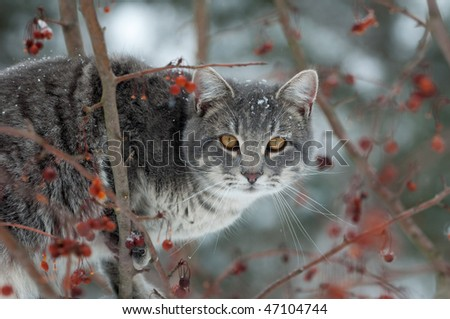 Gray cat perched in a tree trying to catch birds on cold winter day - stock photo