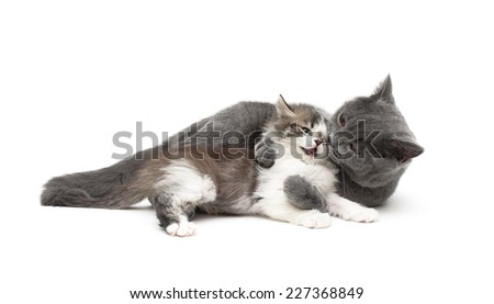 gray cat plays with a small kitten isolated on white background. horizontal photo. - stock photo