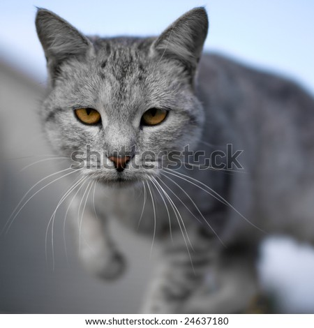 Gray cat - shallow DOF, focus on eyes - stock photo