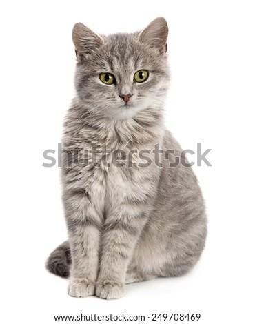 Gray cat sitting isolated on white background - stock photo
