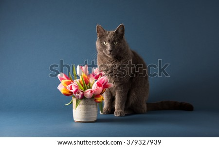 Gray Cat Sitting Next to Bouquet of Tulips - stock photo