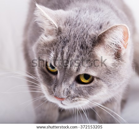 Gray cat with the inclined head and a look from below up. Frontal foreshortening, horizontal shot, close up