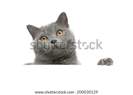 gray cat with yellow eyes isolated on a white background. horizontal photo. - stock photo