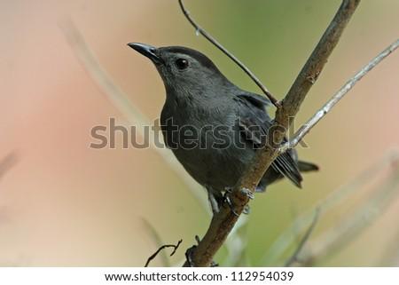 gray catbird - stock photo