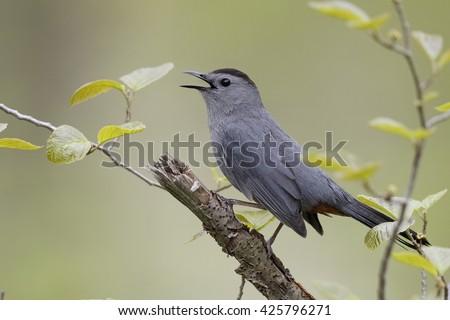 Gray Catbird (Dumetella carolinensis) Calling in Spring - Ontario, Canada - stock photo