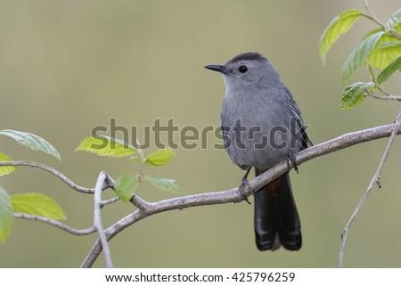 Gray Catbird (Dumetella carolinensis) perched in a shrub - Ontario, Canada - stock photo