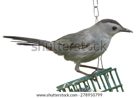 Gray catbird on bird feeder isolated on a white background. - stock photo