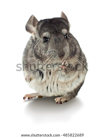 Gray chinchilla isolated on white background. series of images.