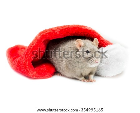 Gray colored fancy rat sitting under a white and red Christmas stocking and looking off to the side.