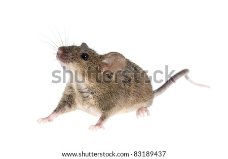 Gray common  house  mouse isolated on white background - stock photo