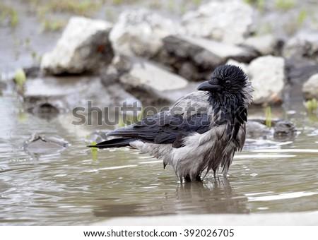 gray crow - stock photo