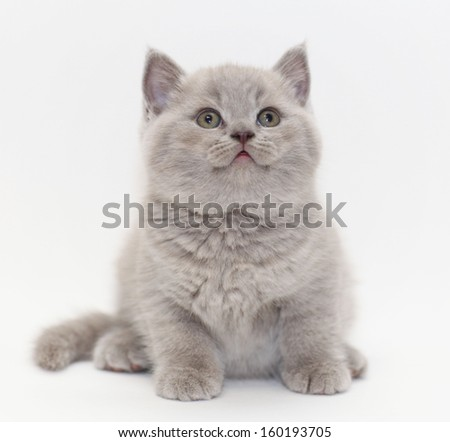 gray cute little kitten British