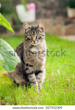 gray domestic cat walking on green grass - stock photo