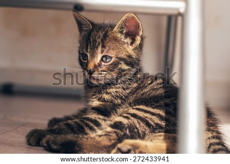 Gray Domestic Pussycat Resting on the Floor Under a Chair, Showing a Serious Facial Expression While Looking to the Left. - stock photo